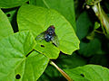 Insect fly 20070713 0121.jpg