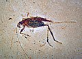 Insect fossil (Santana Formation, Lower Cretaceous; northeastern Brazil) 4 (34207214335).jpg