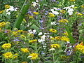 Inula hookeri with Salvia forsskaolei and Achillea ptarmica (14740178292).jpg