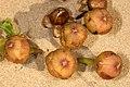 Ipomoea pes-caprae subsp. brasiliensis 5Dsr 7963.jpg
