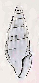 <i>Iredalea subtropicalis</i> Species of gastropod