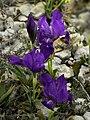 Iris lutescens (flowers).jpg