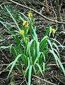 Iris pseudacorus 4.jpg