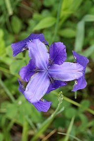 Iris versicolor SCA-0750.jpg