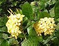 Ixora coccinea, yellow.jpg