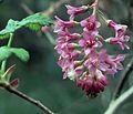 J20160218-0033—Ribes sanguineum var glutinosum—RPBG—DxO (32154725344).jpg