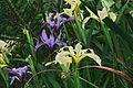 J20160411-0157—Iris douglasiana—RPBG (26389002736).jpg