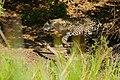 Jaguar (Panthera onca) female walking on the riverbank ... (48675667178).jpg