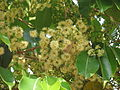 Jamun - Syzygium cumini-5.JPG