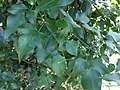 Jasmium tortuosum foliage.jpg
