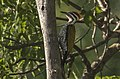 Javan Flameback - Baluran National Park - East Java, Indonesia (cropped).jpg