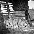 Ječmen za škopo, Ostrožnik 1961.jpg