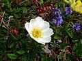 Jenner Alpenblumen 8.JPG