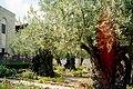Jerozolima ogrod oliwny 2000 v03.jpg