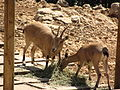 Jerusalem Zoo Nubian ibex.jpg