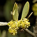 Jojoba Staminate Flowers - Flickr - treegrow.jpg