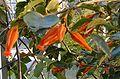 Juanulloa mexicana Flowers BotGardBln0906f.jpg