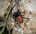 Jumping Spiders. Philaeus chrysops. (44855113095).jpg