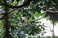 Jungle owlet 01.jpg