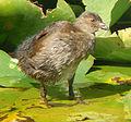 Juvenile Spot-flanked Gallinule.jpg