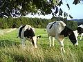 Kühe.JPG