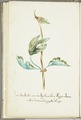 KITLV - 37A37 - Markée, Cornelis - Figtree branch with caterpillar and butterfly - Brush drawing - Circa 1763.tif