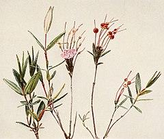 Kalmia polifolia WFNY-156B.jpg