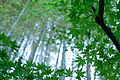 Kamakura photowalk 2012 - Banboos and maple leaves (8180527000).jpg