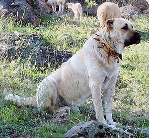 Wolf collar - Image: Kangal dog with spikey collar, Turkey