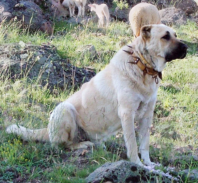 file kangal dog with spikey collar wikimedia commons. Black Bedroom Furniture Sets. Home Design Ideas