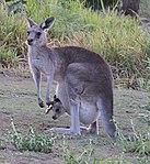 Kangaroo 1 (31132929661).jpg