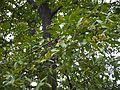 Karumarutu (Tamil- கருமருது) (3664573269).jpg
