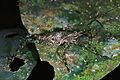 Katydid Nymph (Tettigoniidae) (7839072116).jpg