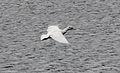 Kelp Goose (Chloephaga hybrida) (15336155673).jpg