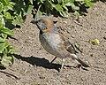 Kenya Rufous Sparrow (Passer rufocinctus rufocinctus).jpg