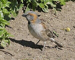 Kenya sparrow - Image: Kenya Rufous Sparrow (Passer rufocinctus rufocinctus)