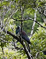 Kereru, AKA New Zealand Wood Pigeons are important for maintaining and spreading native bushes and forests. They are the largest seed eating bird remaining in New Zealand, so are the only bird that (34119092814).jpg