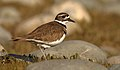 Killdeer-27JAN2017.jpg