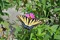 Kilmarnock swallowtail.jpg
