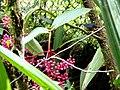 Kinabalu Park, Ranau, Sabah, Malaysia - panoramio (24).jpg