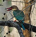 Kingfisher9.jpg