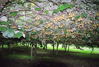 Kiwifruit - Kiwifruit growing on supported vine