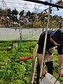 Kiwifruit vine grafting 11.jpg