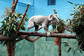 Koala at Edinburgh Zoo.jpg