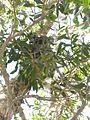Koalabär (30719008663).jpg