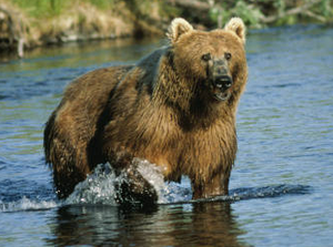 Kodiak Bear at Dog Salmon Creek, USFWS 11389.png