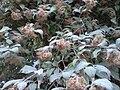 Kolwitzia amabilis 猥实.jpg