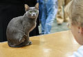 Korat in cat show.JPG