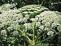 Korina 2011-06-24 Heracleum mantegazzianum.jpg