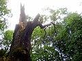 Královský dub v lese Bažantnici u Karolína - č. 5.jpg